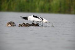 Dorosły avocet atakuje małe kaczki bronić jego swój junga Zdjęcia Stock