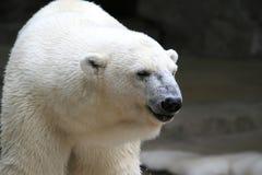 Dorosły biały niedźwiedź polarny z zamazanym tłem Fotografia Stock