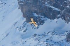 Dorosły brodatego sępa gypaetus barbatus latanie, góry, sno Obraz Stock