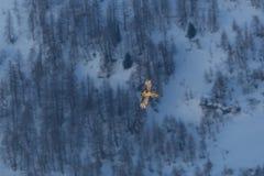 Dorosły brodatego sępa gypaetus barbatus w locie, las, sno Fotografia Stock