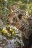 Dorosły brown niedźwiedź, Slovenia Obrazy Stock