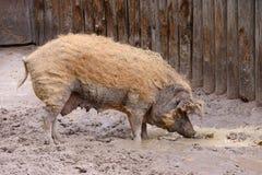 Dorosły brudna świnia Fotografia Stock