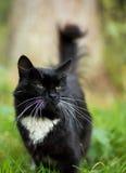 Dorosły czarny i biały kot Zdjęcia Stock