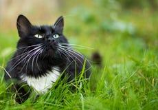 Dorosły czarny i biały kot Fotografia Royalty Free