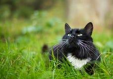 Dorosły czarny i biały kot Zdjęcie Royalty Free
