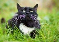 Dorosły czarny i biały kot Obrazy Stock