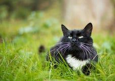 Dorosły czarny i biały kot Zdjęcia Royalty Free