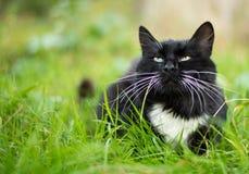 Dorosły czarny i biały kot Obraz Royalty Free