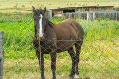 Dorosły czarny koń z białym lampasem wełna na jego kierowniczym sta zdjęcie stock