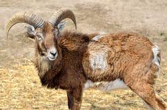 Dorosły dziki męski moufflon na paśniku Obraz Stock