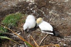 Dorosły gannet i dziecka pisklęcy odprowadzenie w gniazdować teren Obrazy Stock