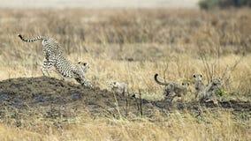 Dorosły gepard z cztery lisiątkami rozciąga na kopu Zdjęcie Royalty Free