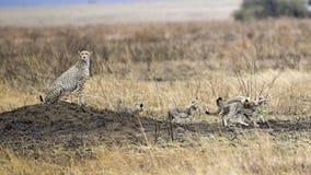 Dorosły gepard z cztery lisiątkami siedzi na kopu Zdjęcie Stock