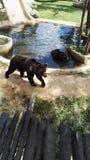 Dorosły grizzly niedźwiedź fotografia stock