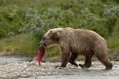 Dorosły grizzly z świeżym złapanym łososiem Zdjęcia Royalty Free