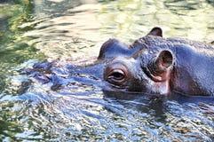 Dorosły hipopotam w wodzie Przyrody zwierzęcy dopłynięcie w wodzie Fotografia Royalty Free