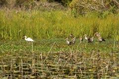 Dorosły i nieletni biały ibis bobrujemy w stawie, Gruzja zdjęcie stock