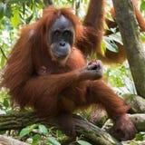 Dorosły kosmaty orangutan je obiad i wiesza na x28 & gałąź; Bohorok, Wewnątrz Obraz Stock