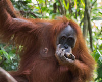 Dorosły kosmaty orangutan je obiad i wiesza na gałąź - zakończenie & x28; Obraz Stock