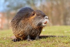 Dorosły kosmaty rzeczny bobroszczur zdjęcia stock