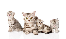 Dorosły kot z figlarkami Na białym tle obraz stock