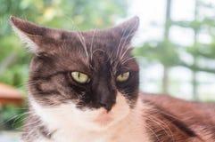 Dorosły kota spojrzenie wściekle z natury światłem Zdjęcie Royalty Free