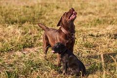 Dorosły labradora brązu kolor i mały szczeniaka labradora czerń barwimy, wtykający za jego jęzorze na trawie, wpólnie obrazy royalty free