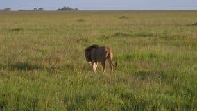 Dorosły lew z grzywa spacerem w odległość na równinie w Afrykańskiej sawannie zbiory
