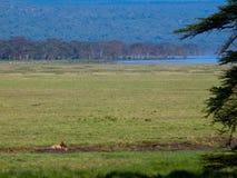 Dorosły lwa lying on the beach w trawie Obraz Royalty Free