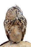 Dorosły nocy sowy drapieżnik Obrazy Royalty Free