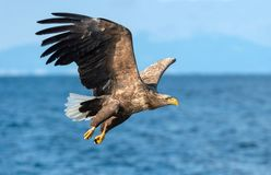 Dorosły Ogoniasty orłów łowić Błękitny oceanu tło Naukowy imię: Haliaeetus albicilla, także znać jako ern, białogon, fotografia royalty free