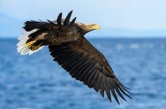 Dorosły Ogoniasty orłów łowić Błękitny oceanu tło Naukowy imię: Haliaeetus albicilla, także znać jako ern, białogon, zdjęcie stock