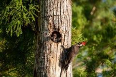 Dorosły pileated dzięcioła Dryocopus ptasi pileatus karmi dziecka chi zdjęcia stock