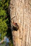 Dorosły pileated dzięcioła Dryocopus ptasi pileatus karmi dziecka chi zdjęcia royalty free