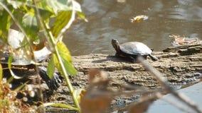 Dorosły, potomstwo Malujący żółwie & jaszczura rockowy słońce wygrzewa się w Pandapas stawu parku Newport Va zbiory wideo