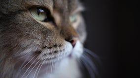 Dorosły puszysty kota obsiadanie zakrywa jego oczy, spada, uśpiony uczni chwytów odbiciu, świeceniu od okno i wolny zbiory