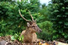 Dorosły rogacz w jesień lesie obrazy royalty free