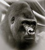 Dorosły Silverback Zachodniej niziny goryl folował głowa strzał Zdjęcie Stock
