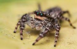 Dorosły skokowy pająk Zdjęcie Stock