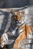 Dorosły Syberyjski tygrys odpoczywa na wzgórzu zdjęcia royalty free