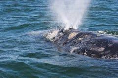 dorosły szarego wieloryba zdjęcie stock