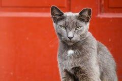 Dorosły Szary kota obsiadanie Przeciw Czerwonemu tłu Obrazy Royalty Free