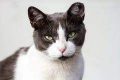 Dorosły Szary kota obsiadanie Przeciw Czerwonemu tłu Fotografia Royalty Free