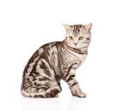 Dorosły Szkocki kot patrzeje daleko od pojedynczy białe tło fotografia royalty free