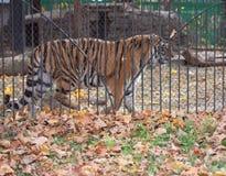 Dorosły tygrys w klatce fotografia stock