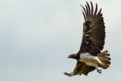 Dorosły Wojenny Eagle latanie fotografia royalty free