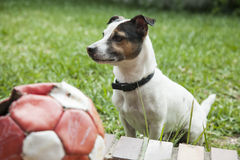 Dorosłego Jack Russell pies siedzi w trawie Fotografia Royalty Free