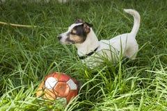 Dorosłego Jack Russell psa stojak w trawie Fotografia Royalty Free