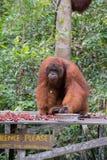 Dorosłego orangutan ogromny rambutanom je obiad na drewnianym x28 & platformie; Kumai Zdjęcia Royalty Free