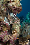 dorosłego pospolitego lionfish mil pterois boczny widok Fotografia Royalty Free